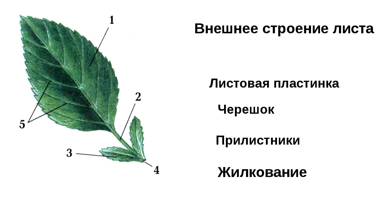 Внешнее строение листа Листовая пластинка Черешок Прилистники Жилкование
