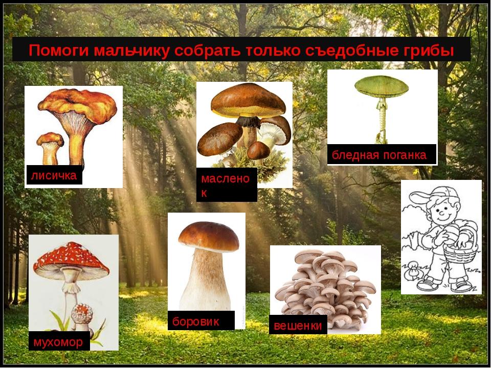 Помоги мальчику собрать только съедобные грибы мухомор бледная поганка лисич...