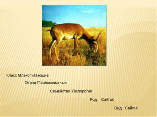 Класс Млекопитающие Отряд Парнокопытные Семейство Полорогие Род Сайгак Вид Са