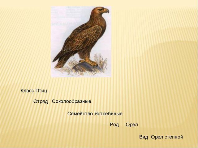 Класс Птиц Отряд Соколообразные Семейство Ястребиные Род Орел Вид Орел степной
