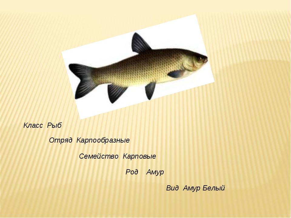 Класс Рыб Отряд Карпообразные Семейство Карповые Род Амур Вид Амур Белый