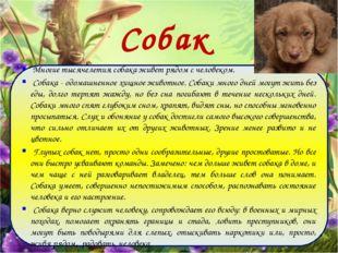 Собаки Многие тысячелетия собака живет рядом с человеком. Собака - одомашненн