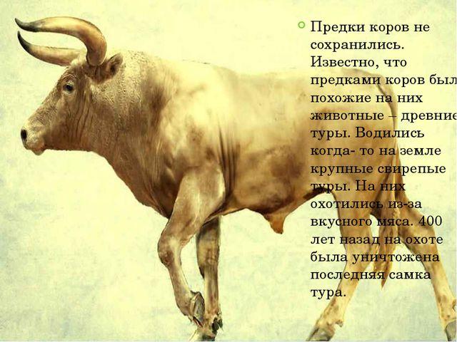 Предки коров не сохранились. Известно, что предками коров были похожие на них...