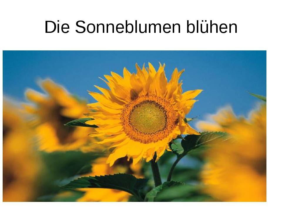 Die Sonneblumen blühen
