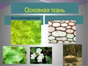 Основная ткань Фотосинтезирующая Запасающая
