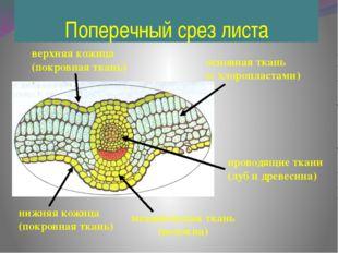 Поперечный срез листа нижняя кожица (покровная ткань) верхняя кожица (покровн