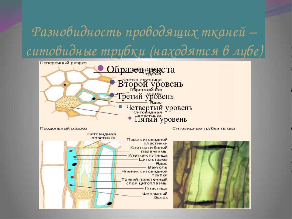 Разновидность проводящих тканей – ситовидные трубки (находятся в лубе)