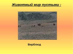 Животный мир пустыни : Верблюд