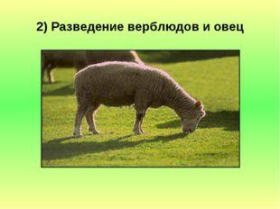 2) Разведение верблюдов и овец