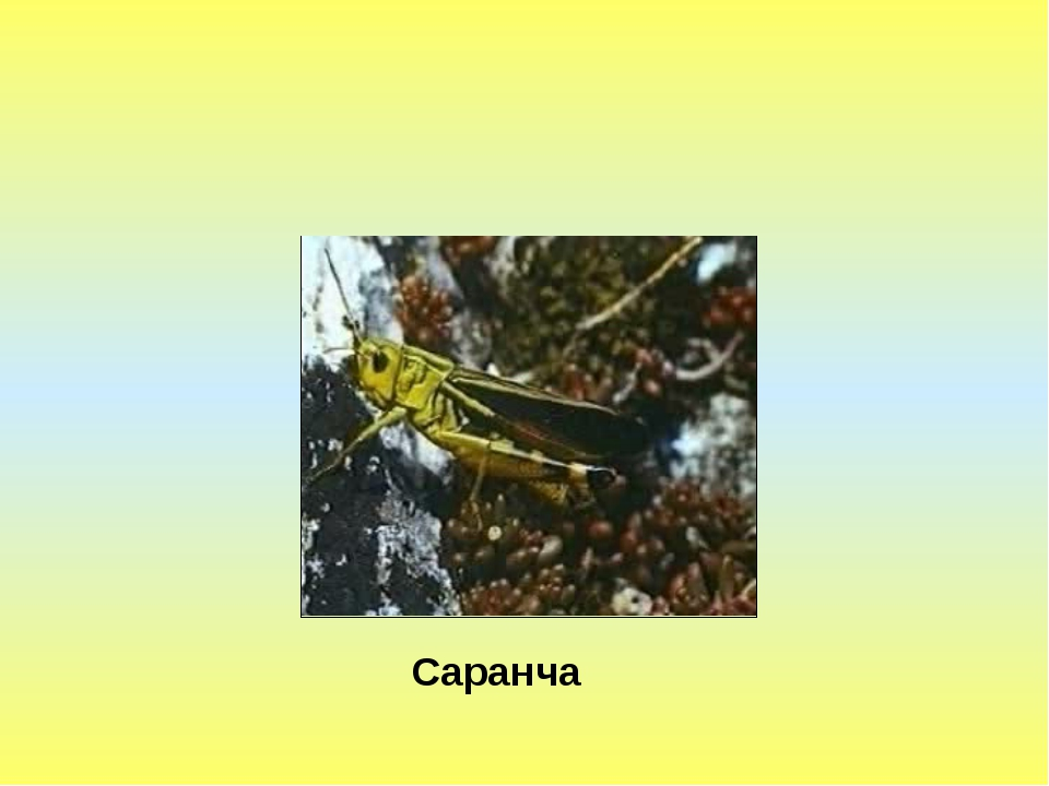 Саранча