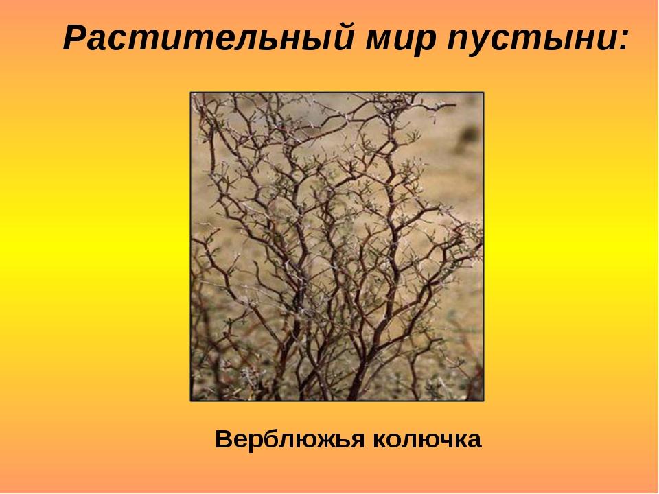 Растительный мир пустыни: Верблюжья колючка