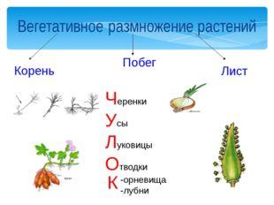 Вегетативное размножение растений Корень Побег Лист Черенки Усы Луковицы Отво