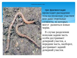 Размножение дождевого червя при фрагментации происходит распадение тела на не