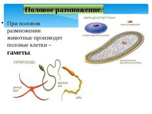 Половое размножение. При половом размножении животные производят половые клет