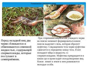 Размножение дождевого червя Перед окладкой яиц два червя сближаются и обменив