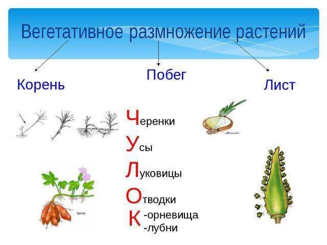 Вегетативное размножение растений Корень Побег Лист Черенки Усы Луковицы Отво...
