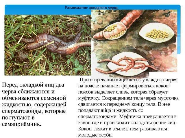 Размножение дождевого червя Перед окладкой яиц два червя сближаются и обменив...