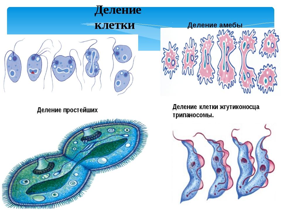 Деление клетки жгутиконосца трипаносомы. Деление простейших Деление клетки Де...