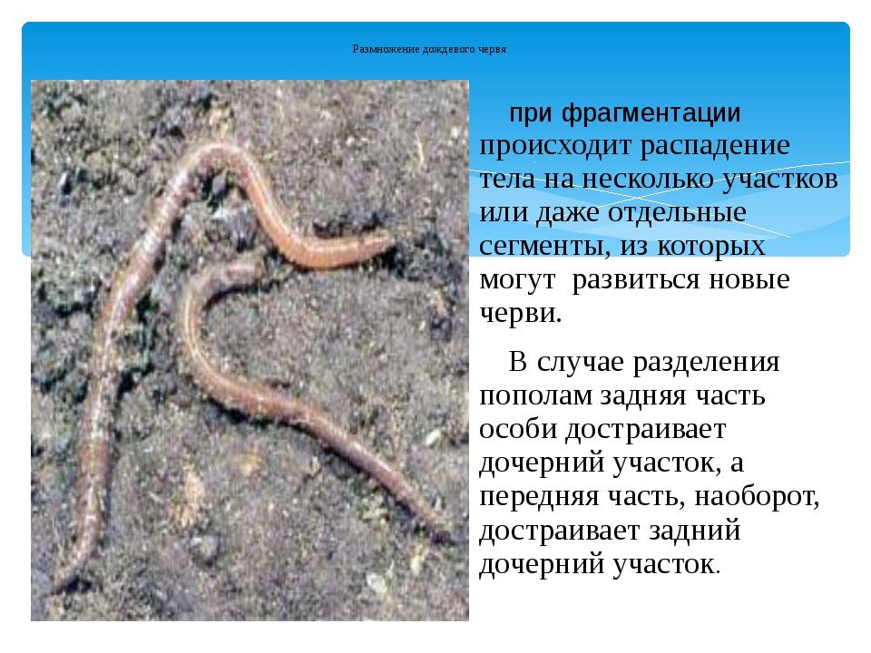 Размножение дождевого червя при фрагментации происходит распадение тела на не...