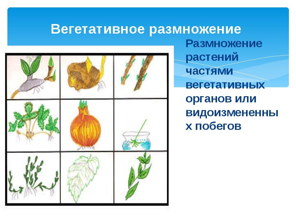 Размножение растений частями вегетативных органов или видоизмененных побегов...