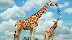 Картинки по запросу очень смешные картинки с жирафом