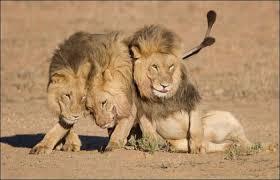 Картинки по запросу очень смешные картинки с лев