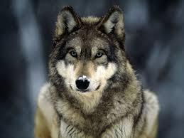 Картинки по запросу очень смешные картинки с волк