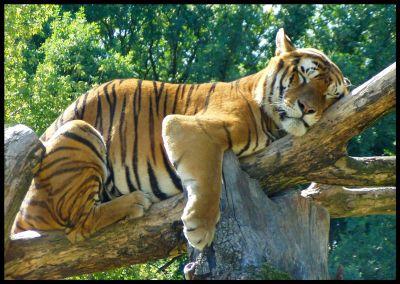 http://tigersworld.info/tigers-photo/21.jpg