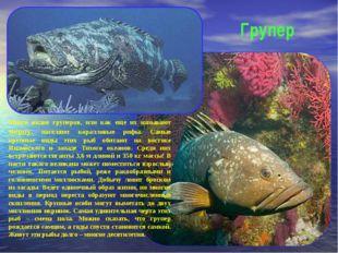 Групер Много видов груперов, или как еще их называют мероу, населяют кораллов