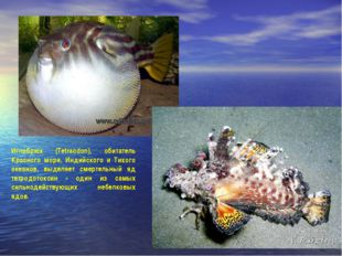 Иглобрюх (Tetraodon), обитатель Красного моря, Индийского и Тихого океанов, в