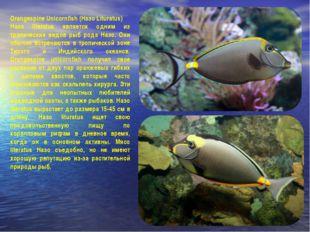 Orangespine Unicornfish (Назо Lituratus) Назо literatus является одним из тро