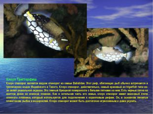 Клоун Триггерфиш Клоун спинорог является видом спинорог из семьи Balistidae.