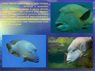 Самой губастой рыбой в мире по праву считается рыба-Наполеон , обитающая в тр