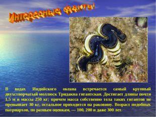 В водах Индийского океана встречается самый крупный двухстворчатый моллюск Тр