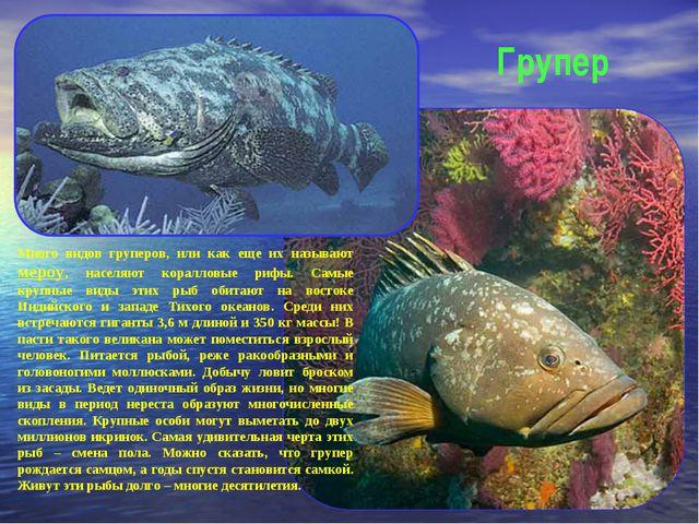 Групер Много видов груперов, или как еще их называют мероу, населяют кораллов...