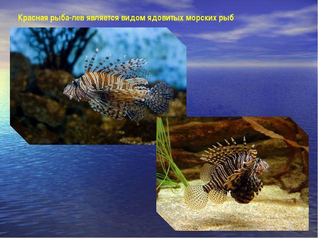 Красная рыба-лев является видом ядовитых морских рыб
