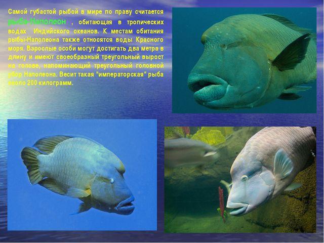 Самой губастой рыбой в мире по праву считается рыба-Наполеон , обитающая в тр...