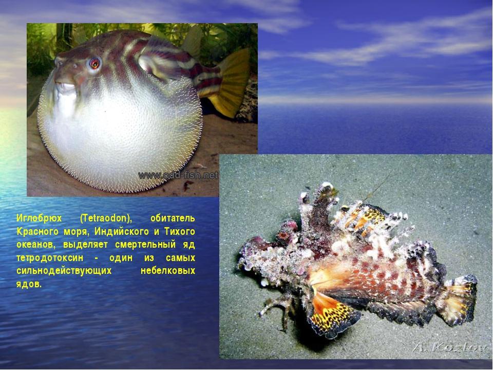 Иглобрюх (Tetraodon), обитатель Красного моря, Индийского и Тихого океанов, в...