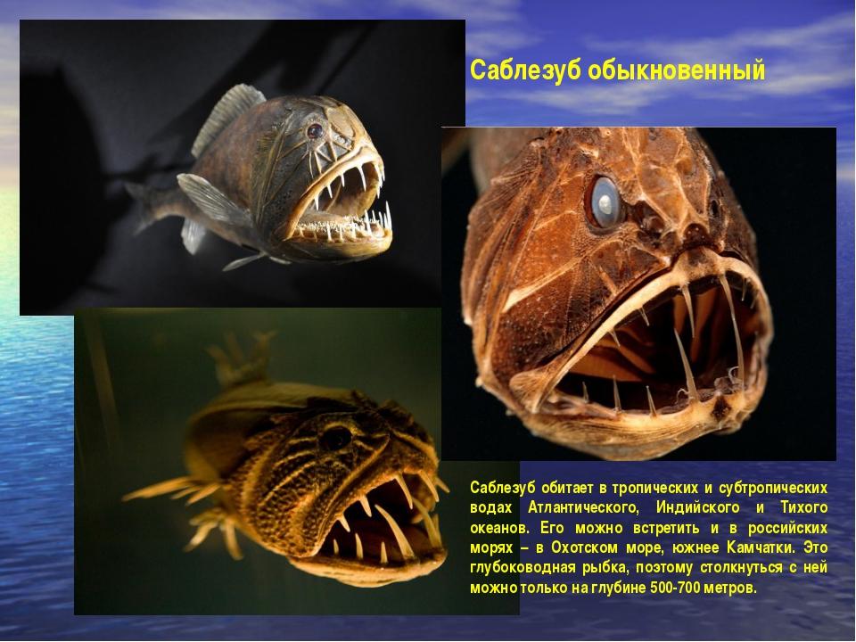 Саблезуб обыкновенный Саблезуб обитает в тропических и субтропических водах А...