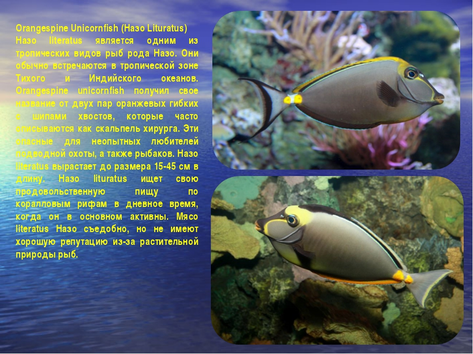 Orangespine Unicornfish (Назо Lituratus) Назо literatus является одним из тро...