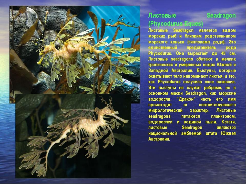Листовые Seadragon (Phycodurus Eques) Листовые Seadragon является видом морск...