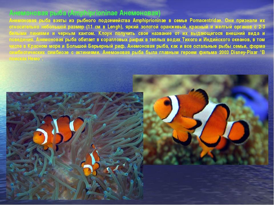 Анемоновая рыба (Amphiprioninae Анемоновая) Анемоновая рыба взяты из рыбного...
