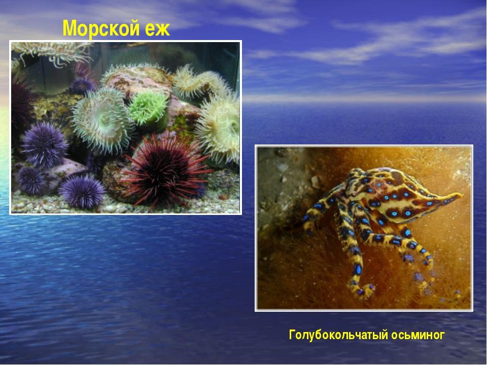 Морской еж Голубокольчатый осьминог
