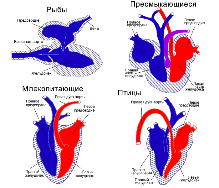 Усложнение строения сердца позвоночных животных