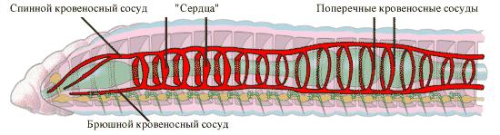 Кровеносная система кольчатого червя