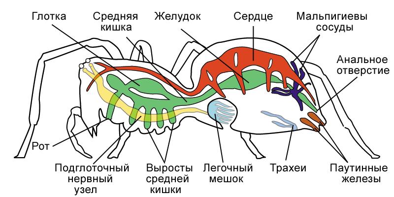 Внутреннее строение паука-крестовика