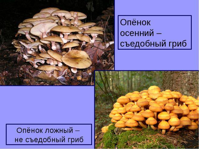 Опёнок осенний – съедобный гриб Опёнок ложный – не съедобный гриб