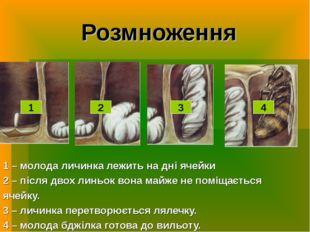 Розмноження 1 – молода личинка лежить на дні ячейки 2 – після двох линьок вон