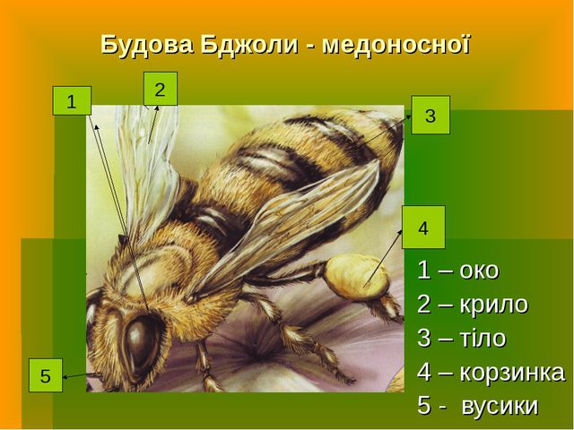 Будова Бджоли - медоносної 1 – око 2 – крило 3 – тіло 4 – корзинка 5 - вусики...