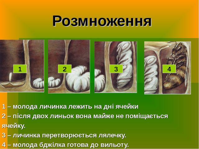 Розмноження 1 – молода личинка лежить на дні ячейки 2 – після двох линьок вон...